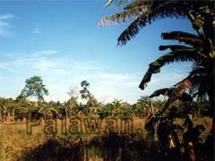 Landschaft mit Bananenplantage