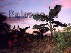 Sonnenuntergang durch Bananenfeld in Sabang.