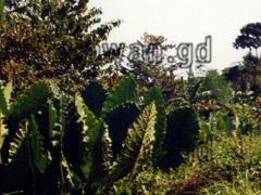 Riesen-Blätter am Wegesrand