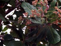 Cashewblüte mit Nuss auf Palawan
