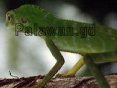 Chamaelion auf Palawan