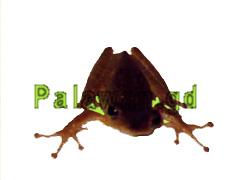 Frosch auf Palawan