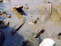 Krokodile in der Krokodilfarm auf der Insel Palwan beim Urlaub fotografiert.