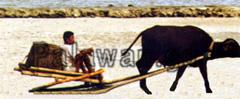 Kokosbauer auf einem Schlitten gezogen von Ochsen
