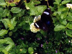 Schmetterling auf Palawan