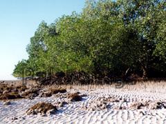 Mangroven bei Albin in der Tutle Bay